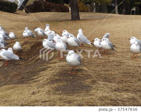 稲毛海浜公園に飛来したユリカモメ 37547636