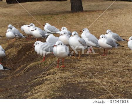 稲毛海浜公園に飛来したユリカモメ 37547638