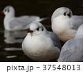 稲毛海浜公園に飛来したユリカモメ 37548013