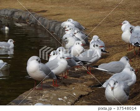 稲毛海浜公園に飛来したユリカモメ 37548014
