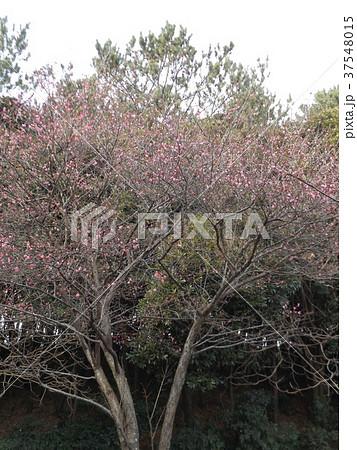早咲きの紅梅が満開です 37548015