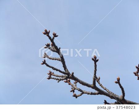 一月の青空に薄緑色のカワヅザクラの蕾 37548023