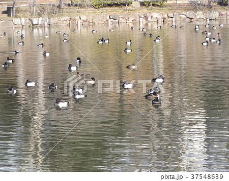 千葉公園綿打池のキンクロハジロ 37548639