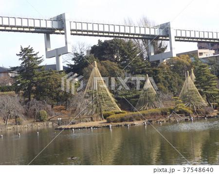 千葉公園綿打池の冬の風物詩雪吊り 37548640