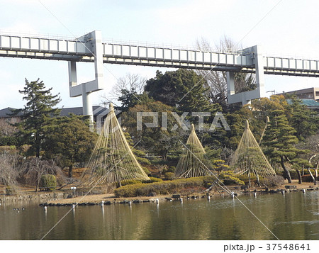 千葉公園綿打池の冬の風物詩雪吊り 37548641