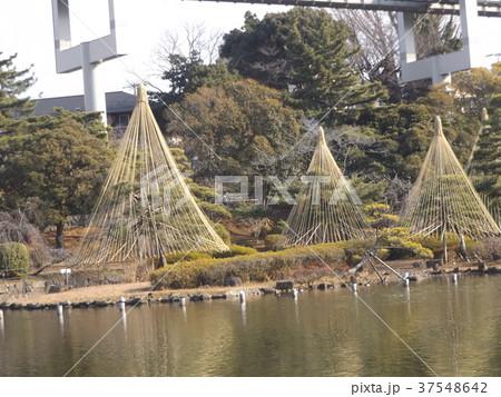 千葉公園綿打池の冬の風物詩雪吊り 37548642