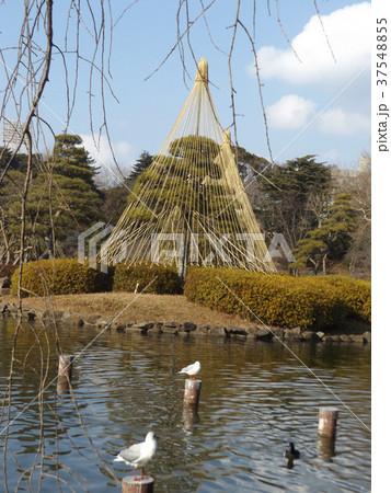千葉公園綿打池の冬の風物詩雪吊り 37548855