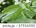 緑の葉 37554393