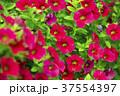 ピンクの花 37554397