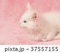 メインクーンの子猫 37557155