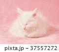 眠るメインクーンの子猫 37557272