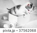 子猫 動物 マシュマロの写真 37562068