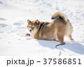 雪遊びの途中でカメラ目線になる柴犬 37586851