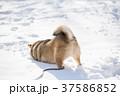 雪遊びに夢中な柴犬 37586852