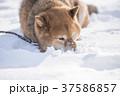 雪遊びに夢中なかわいい柴犬 37586857