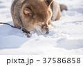 雪遊びに夢中なかわいい柴犬 37586858