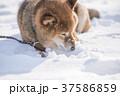 雪遊びに夢中なかわいい柴犬 37586859