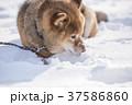 雪遊びに夢中なかわいい柴犬 37586860