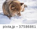 雪遊びに夢中なかわいい柴犬 37586861