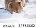 雪遊びに夢中なかわいい柴犬 37586862