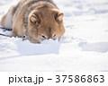 雪遊びに夢中なかわいい柴犬 37586863