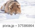 雪遊びに夢中なかわいい柴犬 37586864