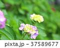 アジサイ 紫陽花 梅雨の写真 37589677