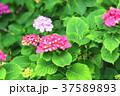 アジサイ 紫陽花 梅雨の写真 37589893
