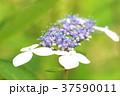 アジサイ 紫陽花 梅雨の写真 37590011