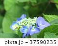 アジサイ 紫陽花 梅雨の写真 37590235