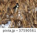 野鳥 1月 37590561