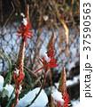 アロエの花 37590563