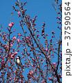 野鳥と紅梅 37590564