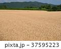 北海道 畑 麦畑の写真 37595223