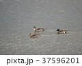野鳥 冬鳥 カモの写真 37596201