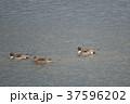 野鳥 冬鳥 カモの写真 37596202