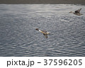 野鳥 冬鳥 吉野川の写真 37596205