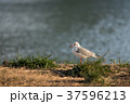 野鳥 冬鳥 吉野川の写真 37596213