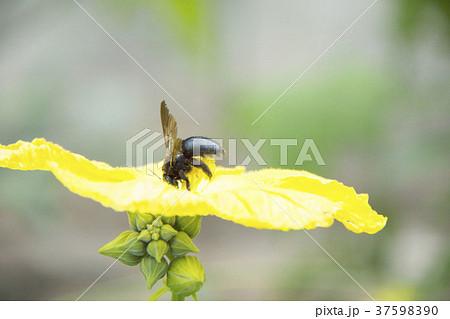 ヘチマの花とクロマルハナバチ 37598390