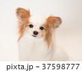微笑むパピヨン 37598777