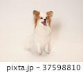 笑うパピヨン 37598810