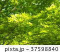初夏 緑葉 新緑の写真 37598840