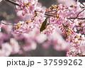 メジロと桜 37599262