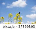 菜の花 花 青空の写真 37599393
