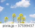 菜の花 花 青空の写真 37599437