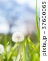 たんぽぽ 花 綿毛の写真 37600065