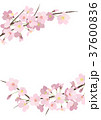桜 春 花のイラスト 37600836