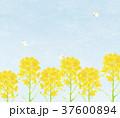 青空 モンシロチョウ 春のイラスト 37600894