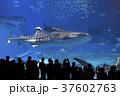 ジンベイザメ 魚 水族館の写真 37602763
