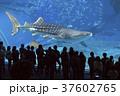 ジンベイザメ 魚 水族館の写真 37602765
